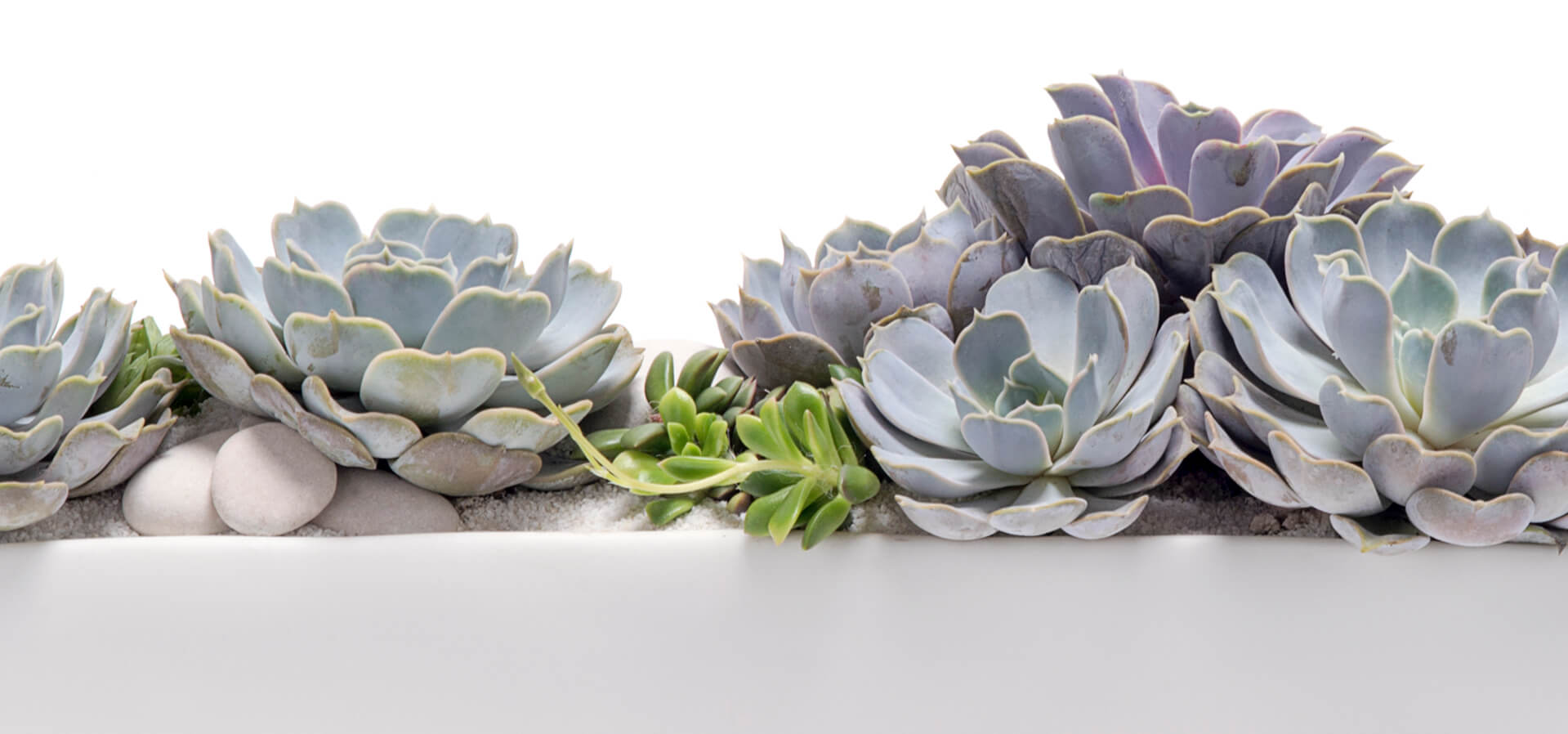 Succulents symbolic meaning