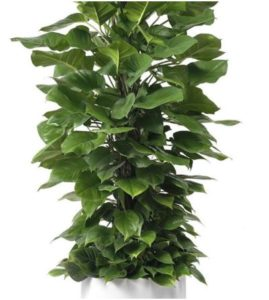"Milano Cylinder Small White (D18"" H20"") - Jade Pothos Totem 14"""