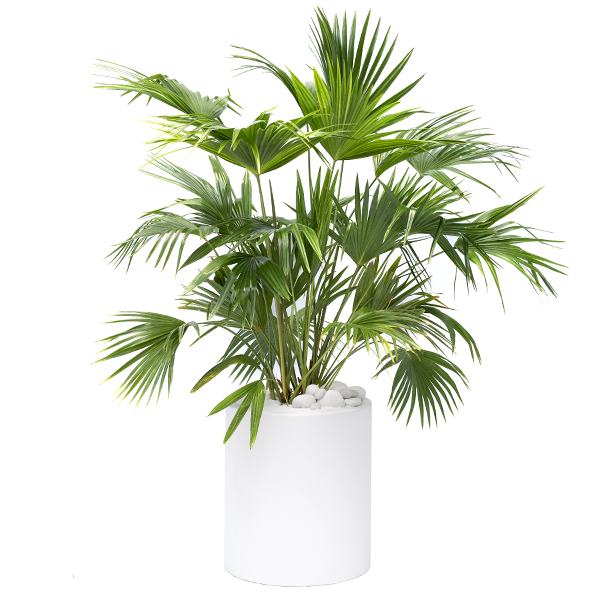 Chinese Fan Palm - Plant The Future on palm indoor seeds, palm trees, palm flowers, palm shrubs,