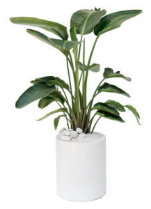 Milano Cylinder Small White Bird of Paradise