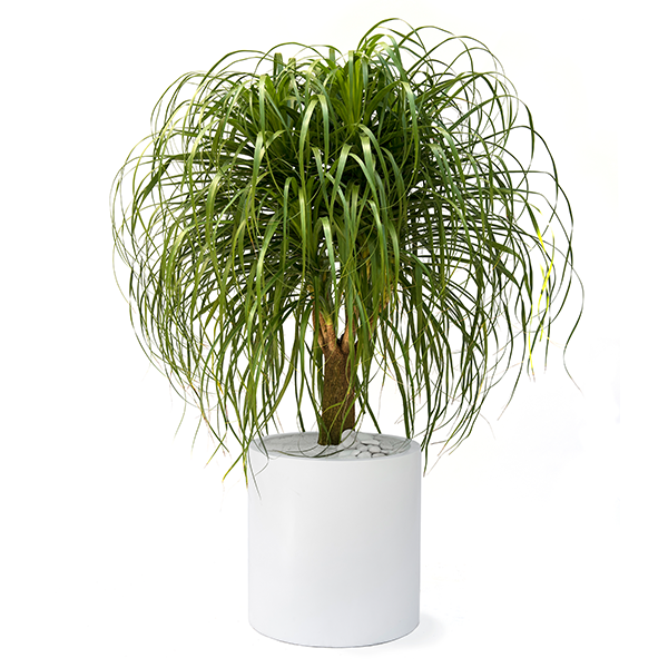 Ponytail Palm Care Guide - Beaucarnea recurvata - Plant The ... on house plant cordyline fruticosa, house plant schefflera arboricola, house plant cyperus alternifolius, house plant schefflera actinophylla, house plant species, house plant sansevieria trifasciata, house plant adenium obesum, house plant dracaena fragrans, house plant zamia furfuracea, house plant pleomele, house plant dracaena draco,