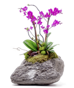 Feather Rock - Mini Phalaenopsis Orchid